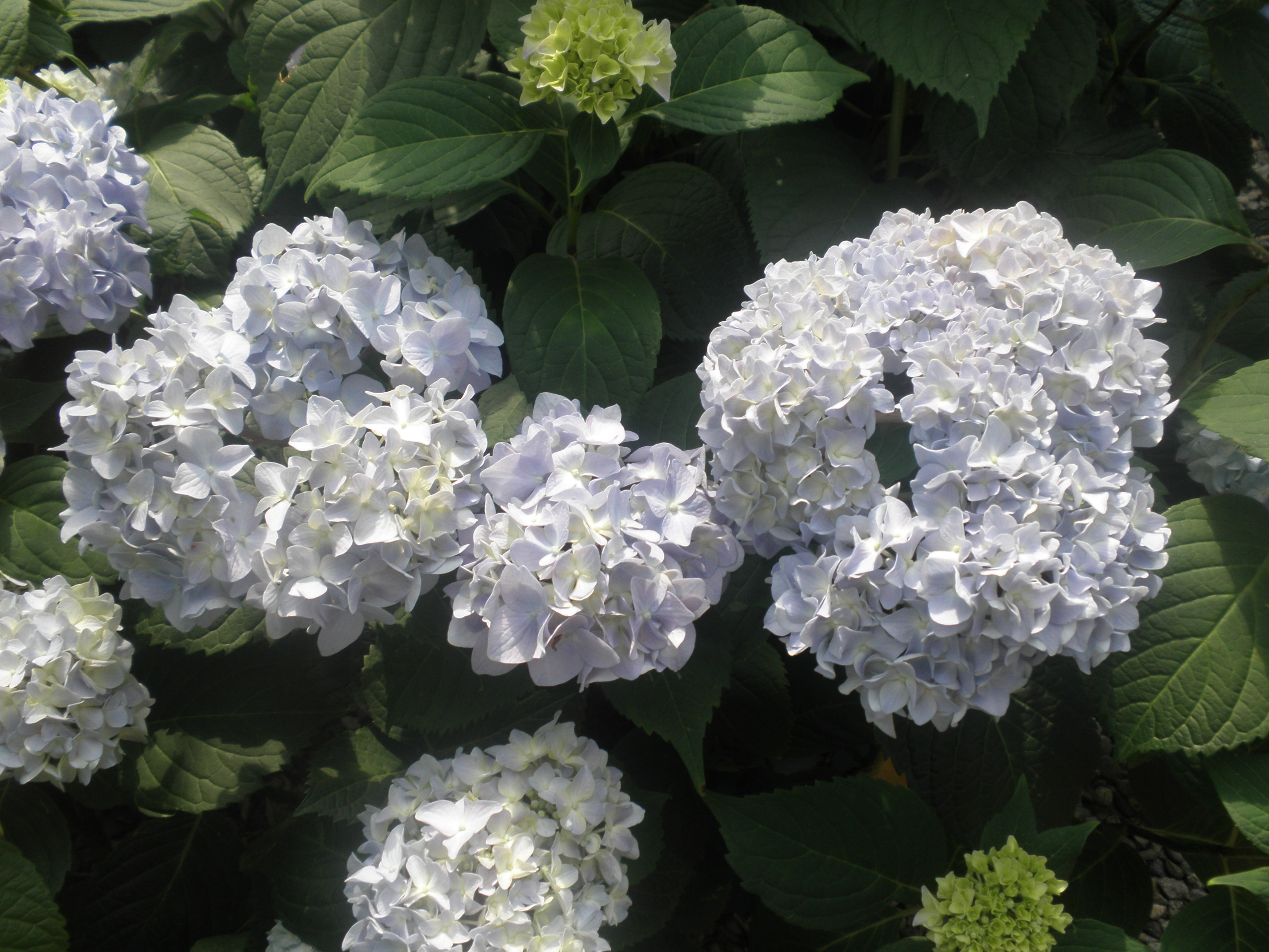 hydrangea mania ganim 39 s garden secrets. Black Bedroom Furniture Sets. Home Design Ideas
