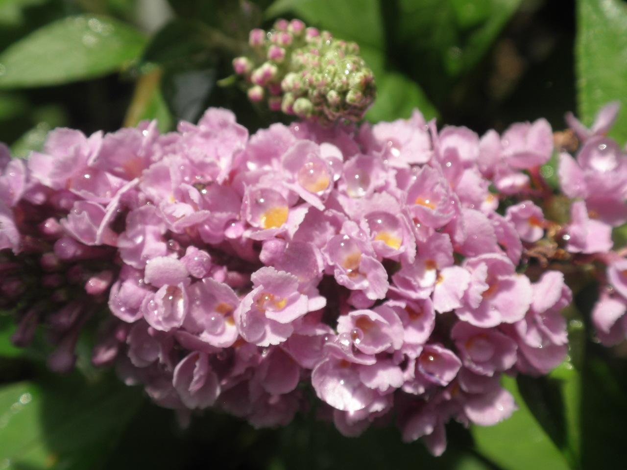 Butterfly Bushes Ganim S Garden Secrets